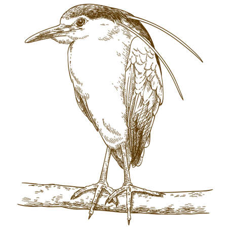 Vector antique engraving drawing illustration of black-crowned night heron isolated on white background Imagens - 104495320