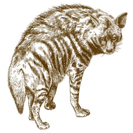 Vector antique engraving drawing illustration of hyena isolated on white background 向量圖像