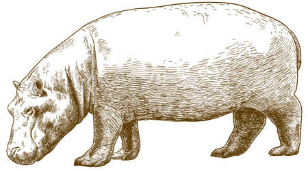 Vector antique engraving drawing illustration of hippo (Hippopotamus amphibius) isolated on white background Illustration