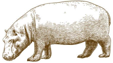 Vector ilustración de dibujo de grabado antiguo de hipopótamo (Hippopotamus amphibius) aislado sobre fondo blanco.