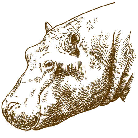 Vector antique engraving drawing illustration of hippopotamus head, isolated on white background Illustration