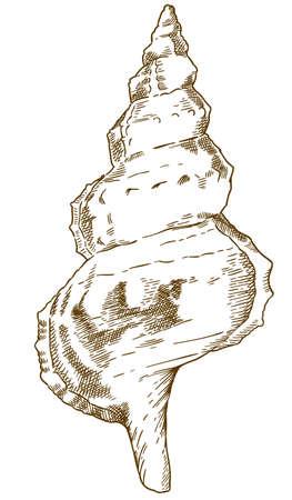 Vector antique engraving drawing illustration of bursa (bursidae) shell isolated on white background Ilustração