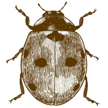 Vector antique engraving drawing illustration of ladybug or ladybird (coccinellidae) isolated on white background Ilustrace