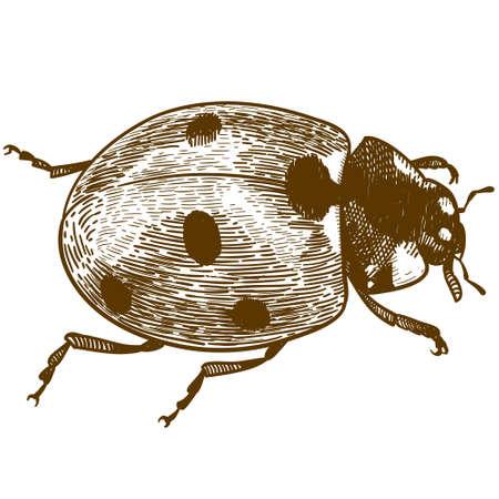 Gravure antique de vecteur dessin illustration de coccinelle ou coccinelle (coccinellidae) isolé sur fond blanc