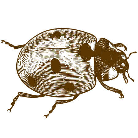 Vector antique engraving drawing illustration of ladybug or ladybird (coccinellidae) isolated on white background Ilustração
