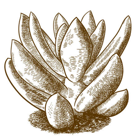 Vector antique engraving drawing illustration of pachyveria glauca little jewel isolated on white background