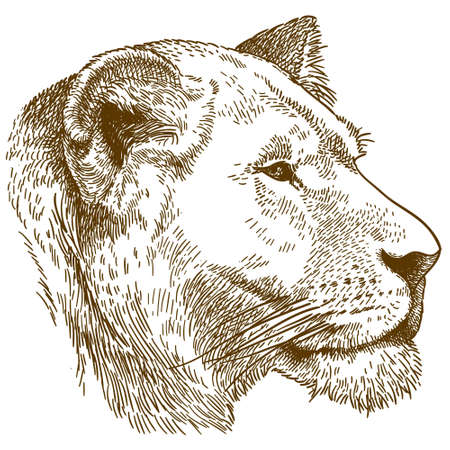 Vector antique engraving drawing illustration of lioness head isolated on white background