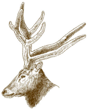 Vector antique engraving drawing illustration of big deer head isolated on white background