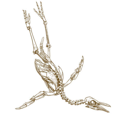 antyczne grawerowanie rysunek ilustracja szkieletu pingwina na białym tle