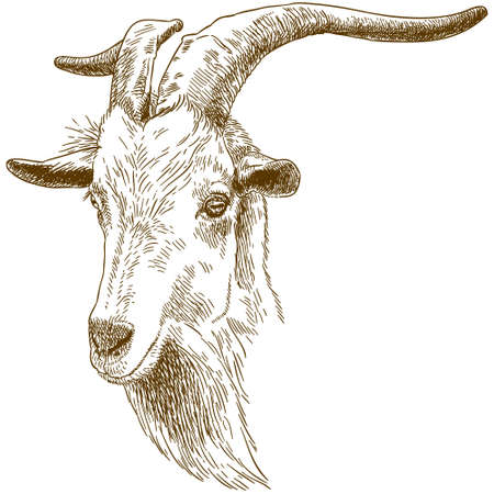 Vector antique engraving drawing illustration of big goat head isolated on white background
