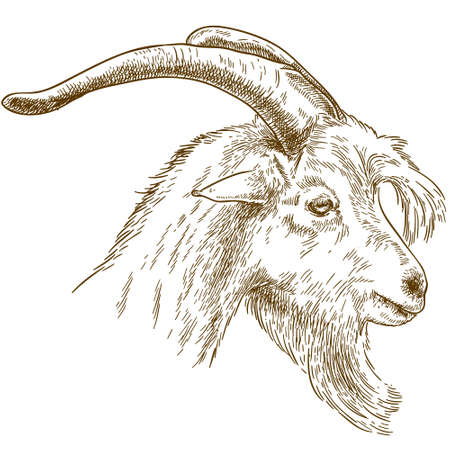 Vector antique engraving drawing illustration of goat head isolated on white background Ilustração