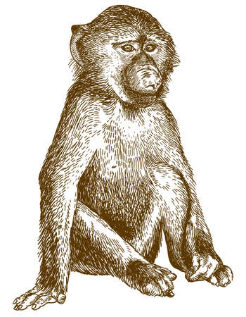 Vector antique engraving drawing illustration of baboon cub isolated on white background