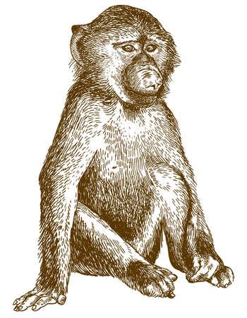 Vektor antike Gravur Zeichnung Illustration von Pavianjunges isoliert auf weißem Hintergrund