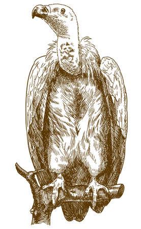 Vector ilustración de dibujo de grabado antiguo de buitre del Himalaya aislado sobre fondo blanco.