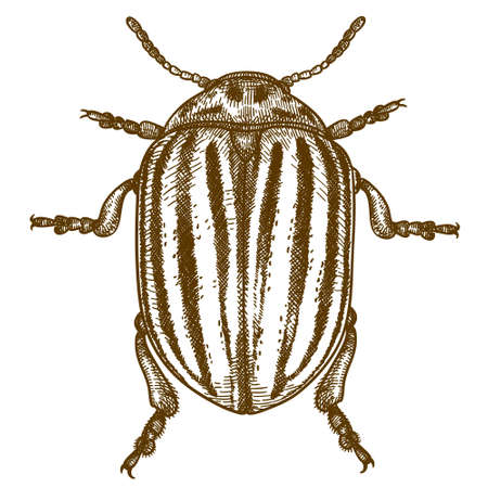 Vector antique engraving drawing illustration of Colorado potato beetle (Leptinotarsa decemlineata) isolated on white background