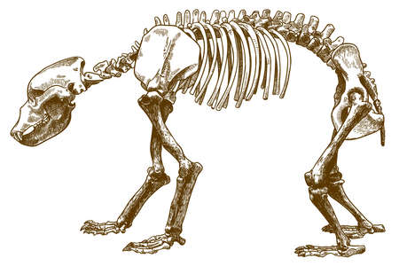 Vector antique engraving drawing illustration of bear skeleton isolated on white background