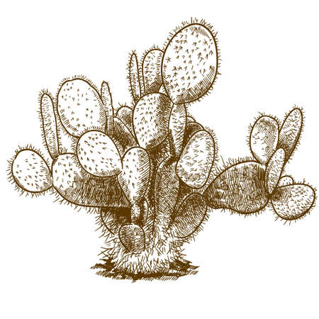 Vector antique engraving drawing illustration of opuntia cactus isolated on white background