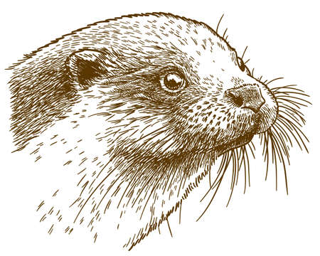 Vector antique engraving drawing illustration of otter head isolated on white background