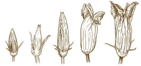 Vector antique engraving drawing illustration of five squash blossoms isolated on white background Ilustracja