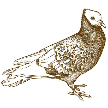 Vector antique engraving drawing illustration of pigeon or dove bird isolated on white background