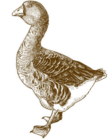 Vector antique engraving illustration of big domestic goose isolated on white background 向量圖像