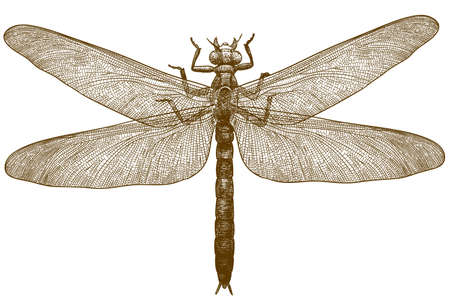 Vector antique engraving drawing illustration of dragonfly meganeura isolated on white background