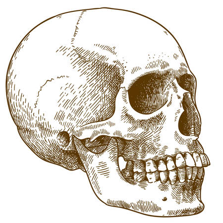 Vector antique engraving drawing illustration of human skull isolated on white background 向量圖像