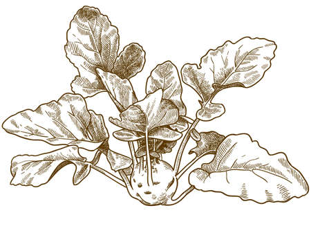 Vector antique engraving drawing illustration of kohlrabi cabbage isolated on white background