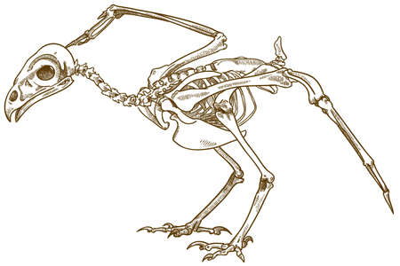Vector antique engraving drawing illustration of buzzard bird skeleton isolated on white background