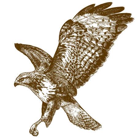 Vector antike Gravurzeichnung Illustration des Bussardvogels isoliert auf weißem Hintergrund