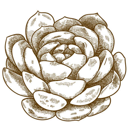 Vector antique engraving illustration of succulent echeveria isolated on white background