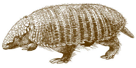 Vector antique engraving drawing illustration of dwarf armadillo pichi isolated on white background