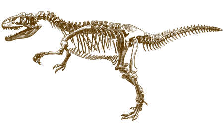 Vector antique engraving drawing illustration of tyrannosaurus T rex skeleton isolated on white background 向量圖像