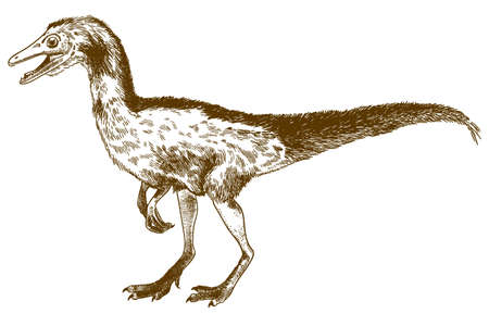 Vector antique engraving drawing illustration of compsognathus longipes isolated on white background 向量圖像