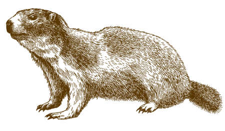 Vector antique engraving drawing illustration of alpine marmot isolated on white background Ilustração