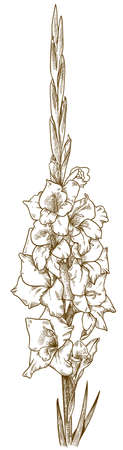 Vector antique engraving drawing illustration of gladiolus flower isolated on white background