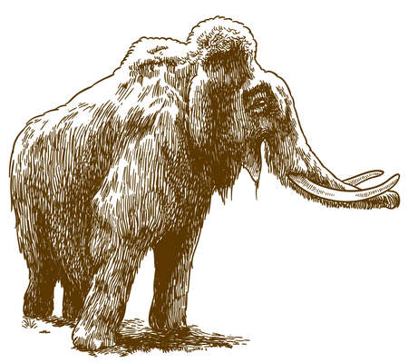 Vector antique engraving drawing illustration of woolly mammoth isolated on white background Çizim