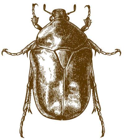 Vector ilustración de dibujo de grabado antiguo de escarabajo de las rozaduras de flores aislado sobre fondo blanco.