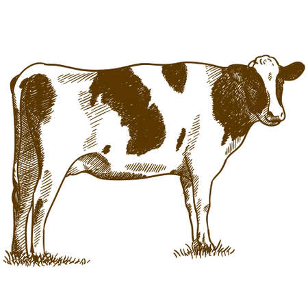 Vector antique engraving illustration of spotted cow isolated on white background