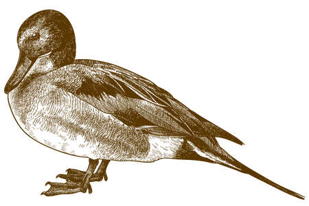 Vector antique engraving drawing illustration of Northern pintail (Anas acuta) isolated on white background