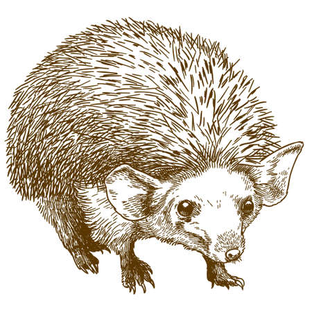 Vector antique engraving drawing illustration of long eared hedgehog isolated on white background