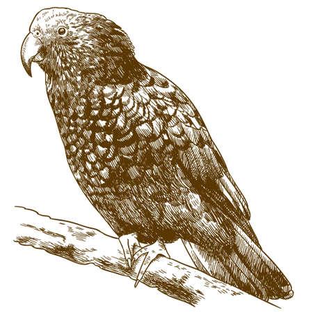 Vector antique engraving drawing illustration of New Zealand kaka bird isolated on white background
