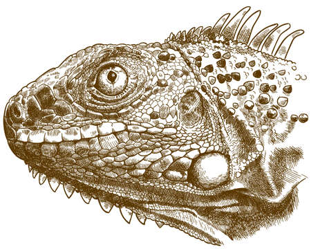 Vector antique engraving illustration of reptile iguana lizard head isolated on white background 向量圖像
