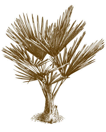 Vector antique engraving drawing illustration of washingtonia palm or mexican washingtonia isolated on white background 向量圖像