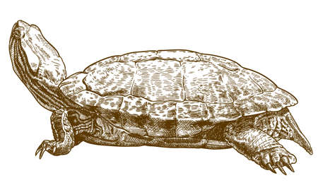Vector antique engraving drawing illustration of pond slider turtle or red-eared slider isolated on white background Çizim