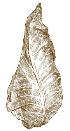 Vector antique engraving drawing illustration of pointed cabbage or sweetheart cabbage isolated on white background 向量圖像