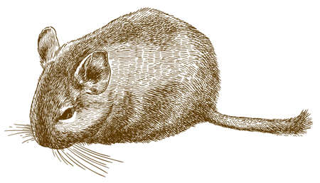 Vector antique engraving drawing illustration of degu or Octodon degus isolated on white background