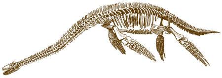 Vektor antike Gravur Zeichnung Illustration des Dinosaurier-Plesiosaurus-Skeletts isoliert auf weißem Hintergrund