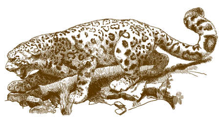 Vector antique engraving drawing illustration of snow leopard (Panthera uncia) isolated on white background