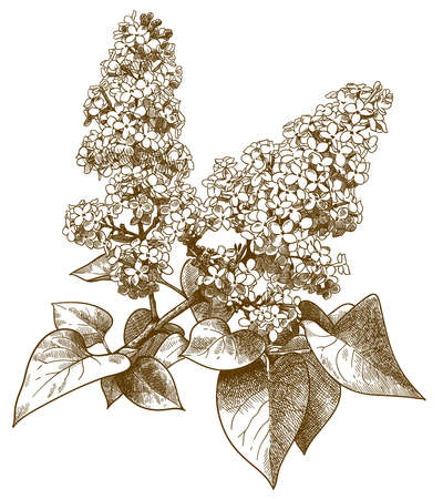Vector antique engraving drawing illustration of lilac syringa isolated on white background